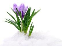 Açafrões e neve Fotos de Stock