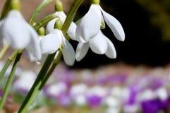 Açafrões e snowdrops de florescência Imagens de Stock Royalty Free