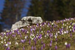 Açafrões e snowdrops em um campo Fotos de Stock Royalty Free