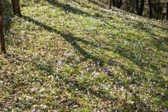 Açafrões e snowdrops violetas da mola na floresta Fotos de Stock