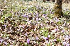 Açafrões e snowdrops violetas da mola na floresta Imagem de Stock