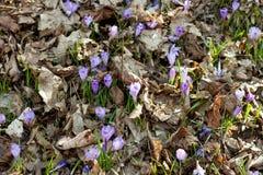 Açafrões e snowdrops violetas da mola na floresta Imagens de Stock