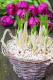 Açafrões e tulipas Foto de Stock