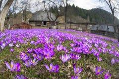 Açafrões em Kolochava Fotos de Stock
