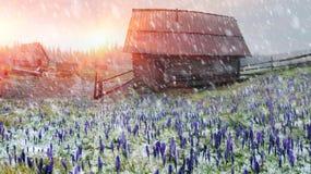 Açafrões em um blizzard Fotografia de Stock