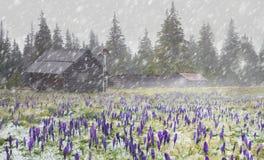 Açafrões em um blizzard Foto de Stock Royalty Free