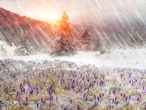 Açafrões em um blizzard Fotos de Stock