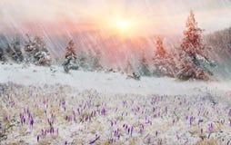 Açafrões em um blizzard Foto de Stock