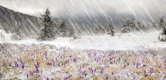 Açafrões em um blizzard Imagens de Stock Royalty Free