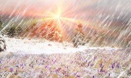 Açafrões em um blizzard Imagem de Stock