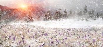 Açafrões em um blizzard Fotografia de Stock Royalty Free