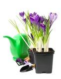 Açafrões em um potenciômetro com ferramentas de jardim Fotografia de Stock Royalty Free
