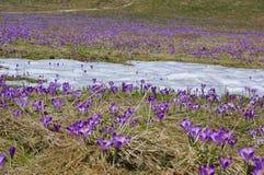 Açafrões em um prado da montanha Fotos de Stock