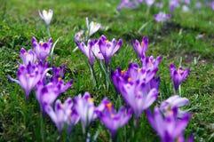Açafrões em um prado da montanha Imagem de Stock Royalty Free