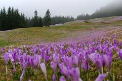 Açafrões em um prado da montanha Tatry Fotos de Stock