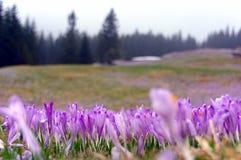 Açafrões em um prado da montanha Tatry Foto de Stock