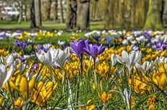 Açafrões em um prado do parque Imagens de Stock Royalty Free
