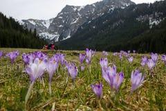 Açafrões em uma clareira da montanha Foto de Stock Royalty Free