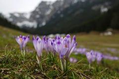Açafrões em uma clareira da montanha Fotografia de Stock Royalty Free