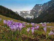 Açafrões em uma clareira da montanha Foto de Stock