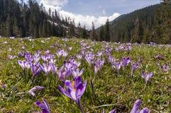 Açafrões em uma clareira da montanha no Tatras ocidental poland Imagens de Stock