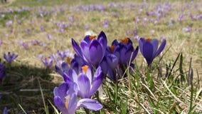 Açafrões em Zakopane Imagem de Stock Royalty Free