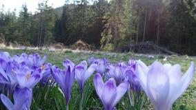 Açafrões em Zakopane Imagem de Stock