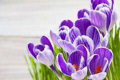 Açafrões florais da mola da planta da flor do açafrão Fotos de Stock Royalty Free