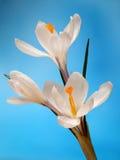 açafrões Flores brancas no fundo azul Fotos de Stock Royalty Free
