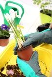 Açafrões, flores da mola Fotos de Stock