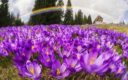 Açafrões - flores nevado da mola Imagens de Stock Royalty Free