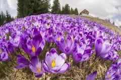 Açafrões - flores nevado da mola Fotos de Stock
