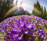 Açafrões - flores nevado da mola Imagem de Stock Royalty Free