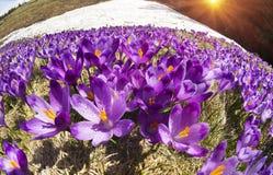 Açafrões - flores nevado da mola Foto de Stock Royalty Free