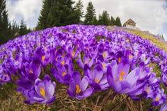 Açafrões - flores nevado da mola Fotos de Stock Royalty Free
