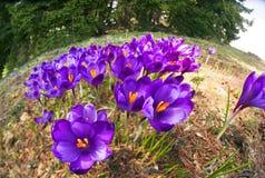 Açafrões - flores nevado da mola Imagens de Stock