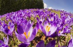 Açafrões - flores nevado da mola Fotografia de Stock
