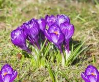 Açafrões, flores violetas da mola. Fotos de Stock