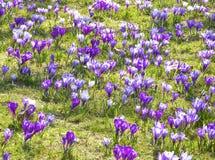 Açafrões, flores violetas da mola. Foto de Stock Royalty Free