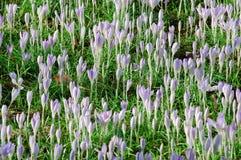 Açafrões, folhas frescas do verde e folhas velhas, inoperantes Fotos de Stock Royalty Free