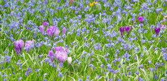 Açafrões lilás de florescência Imagem de Stock Royalty Free