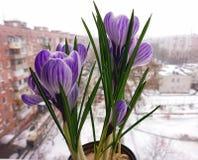 Açafrões lilás de florescência em um potenciômetro Imagens de Stock