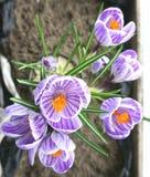 Açafrões lilás de florescência em um potenciômetro Fotografia de Stock Royalty Free