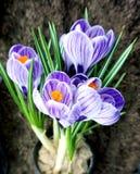 Açafrões lilás de florescência em um potenciômetro Imagens de Stock Royalty Free