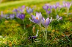 Açafrões na flor no prado Fotografia de Stock Royalty Free