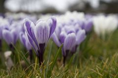 Açafrões na grama Fotografia de Stock