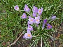 Açafrões na mola açafrões Flores na mola Imagens de Stock