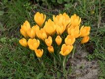 Açafrões na mola açafrões Flores na mola Imagem de Stock Royalty Free