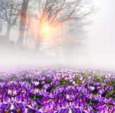 Açafrões na névoa Foto de Stock