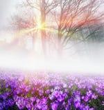 Açafrões na névoa Fotografia de Stock